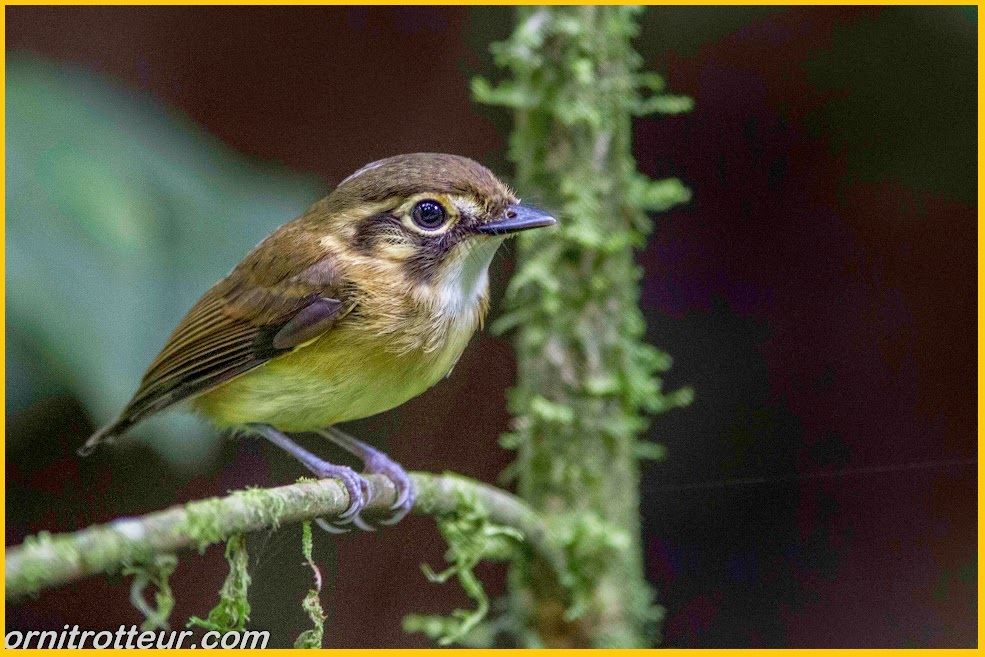 white throated spadebill
