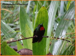 Flame-throated Sunangel