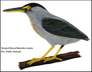 Striated Heron Butorides striata