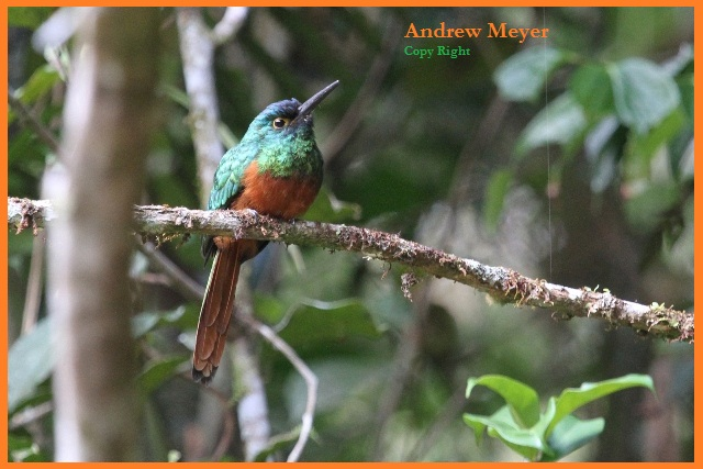 Coopery - chested Jacamar.