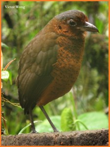 Giant Antpitta 1 - copia