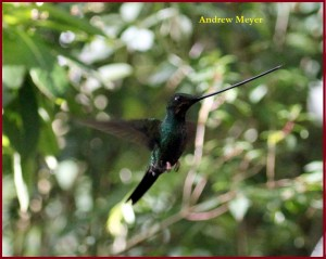 Sword - billed Hummingbird