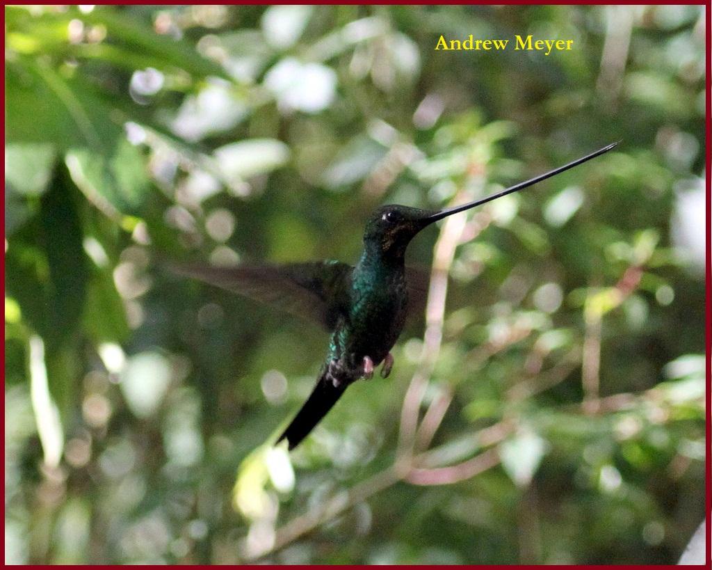 Sword - billed Hummingbird