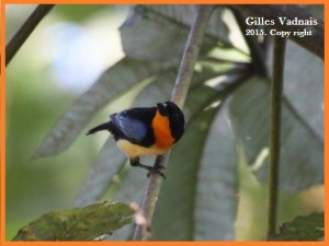 orange throated tanager equateur 2015-2 - copia