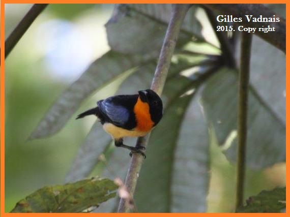 orange throated tanager equateur