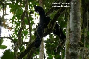 BIRDING SOUTHERN ECUADOR. UMBRELLA BIRD