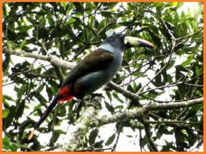 TUCAN ANDINO PECHIGRIS. Gray breasted Mountain Toucan. Ministerio del Ambiente
