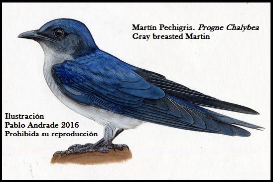 Golondrina, Martín Pechigris