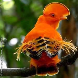 Cock of the Rock Guyana