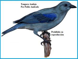 Tangara Azuleja, Blue gray Tanager